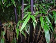 imagen El Bambú Negro