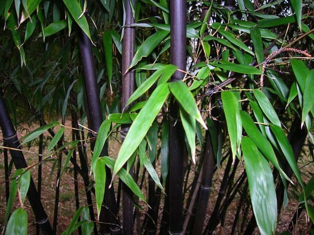 Bambú negro 2