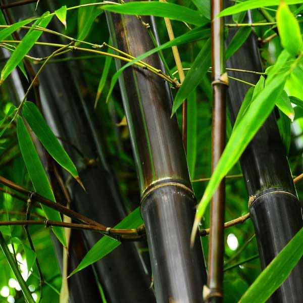 Bambú negro 3