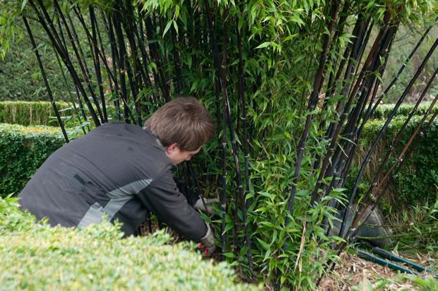 El bamb negro - Bambu planta exterior ...
