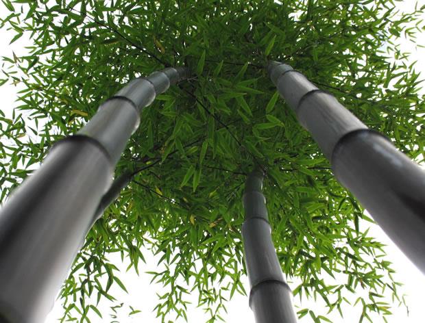 bamb negro