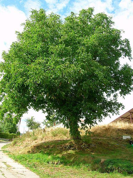 Plantar un nogal en el jard n for Arbol con raices y frutos