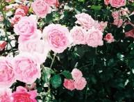 imagen De qué se enferma un rosal