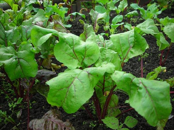 5 hortalizas de crecimiento rápido 3