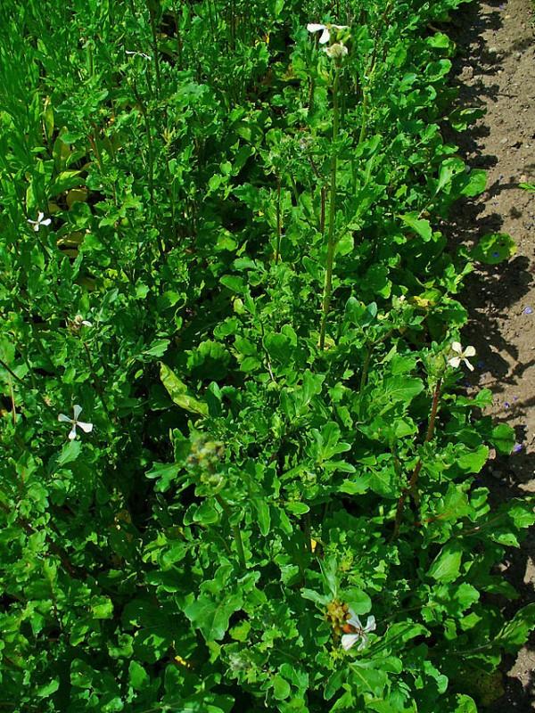 5 hortalizas de crecimiento rápido 4