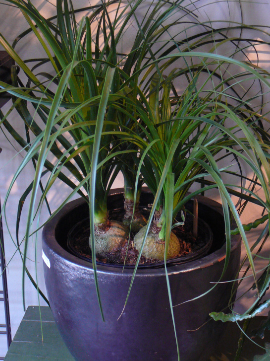Beaucarnea recurvata o nolina 3