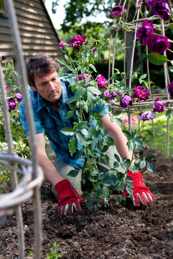 Cultivo de rosales 2
