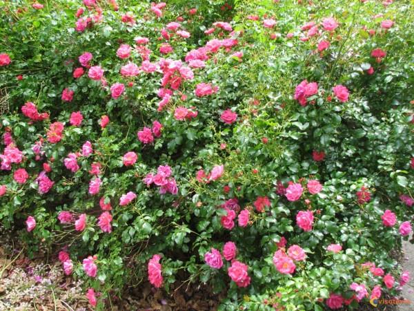 Consejos para cultivar hermosos rosales for Jardin los rosales