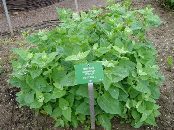 Cultivar armuelles 1
