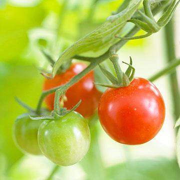 Consejos para cultivo de tomates 2