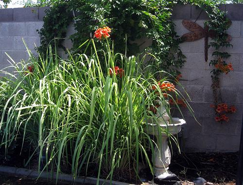 Cultivo y usos de planta de citronela 1