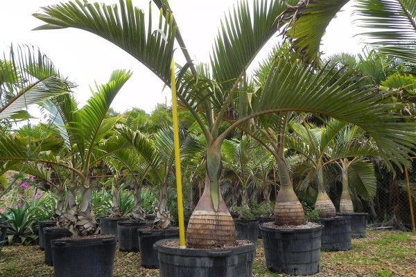 Palma botella 2
