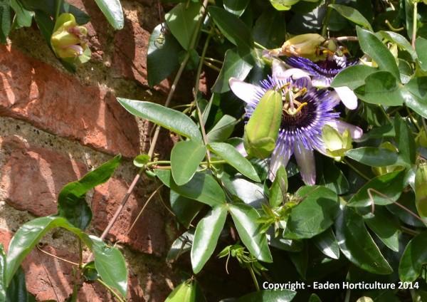 Pasionaria azul o pasiflora 1