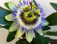imagen La pasionaria azul o pasiflora
