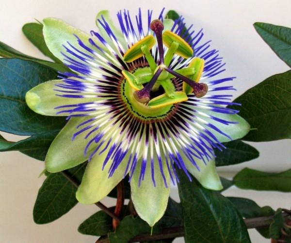 Pasionaria azul o pasiflora 2