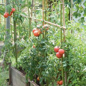 Entutorado de los tomates 1.jpg