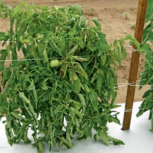 Entutorado de los tomates 3.jpg