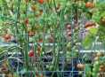 imagen Sistemas de entutorado de los tomates