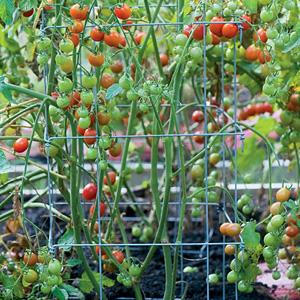 Entutorado de los tomates 4.jpg
