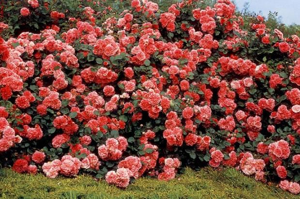 Rosal arbustivo