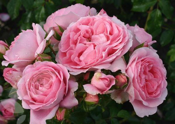Rosal floribundo