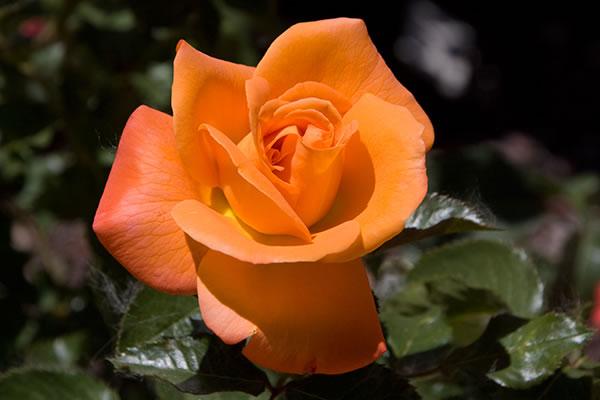 Rosal grandiflora