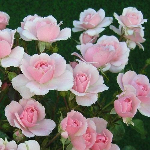 Rosal polyantha