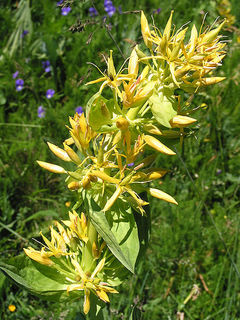 6-Great-Yellow-Gentian