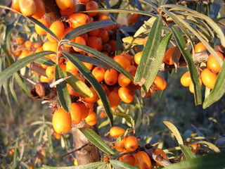 9-Sea-buckthorn-oliv