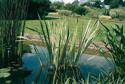Acorus calamus variegata 2