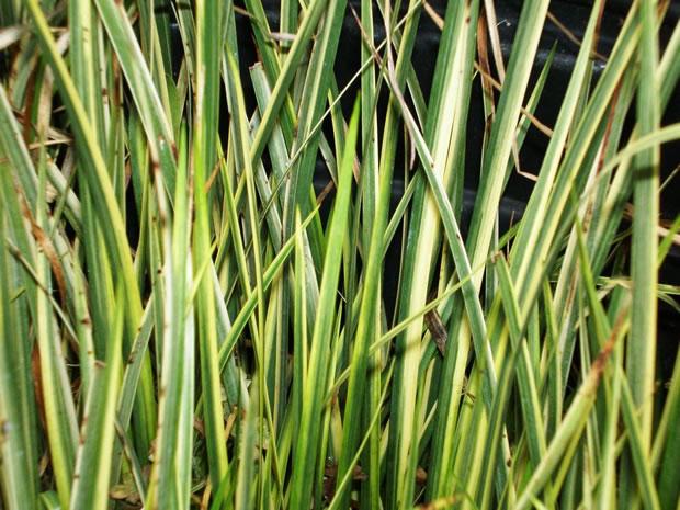 Plantas acu ticas acorus calamus for Fertilizacion de estanques piscicolas