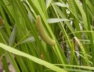 imagen Plantas acuáticas: Acorus Calamus