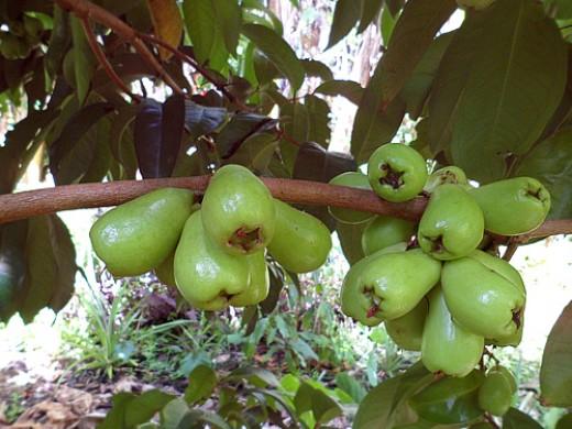 Manzana de agua o manzana malaya 2
