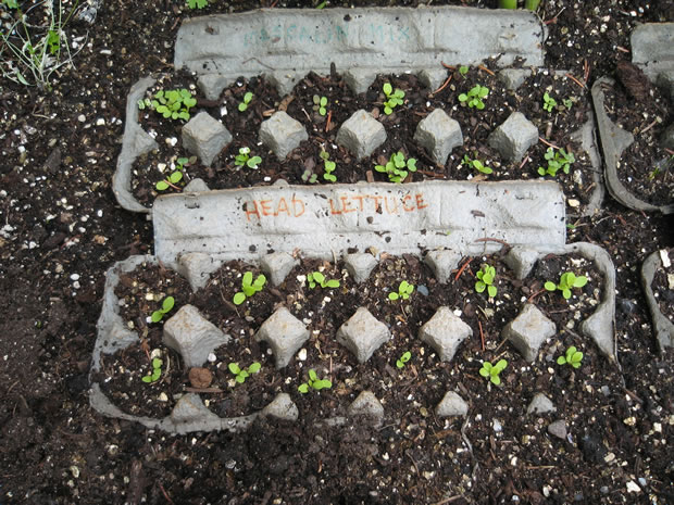 Cultivar en cartones de huevos 1