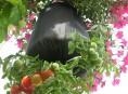 imagen Cultivo invertido de tomate en una bolsa DIY