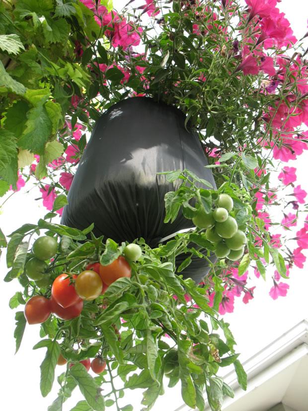 Cultivo invertido tomate bolsa 1