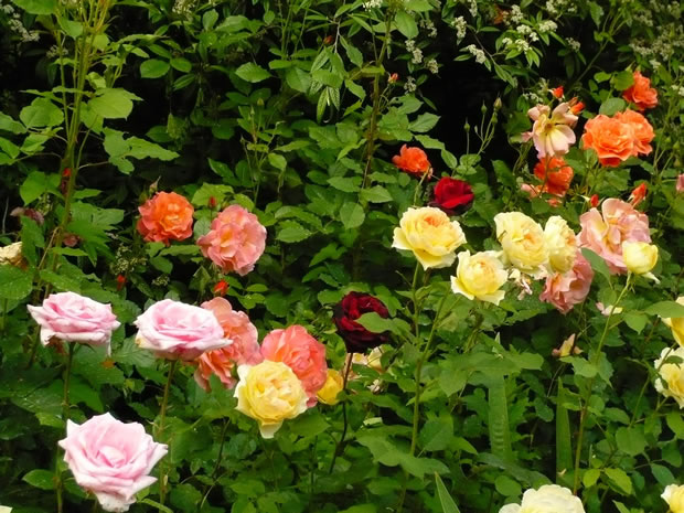 Conoce los tres grandes grupos de rosales for Jardineria rosales