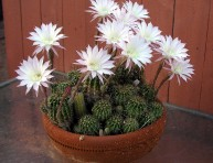 imagen Echinopsis oxygona: un cactus de floración espectacular