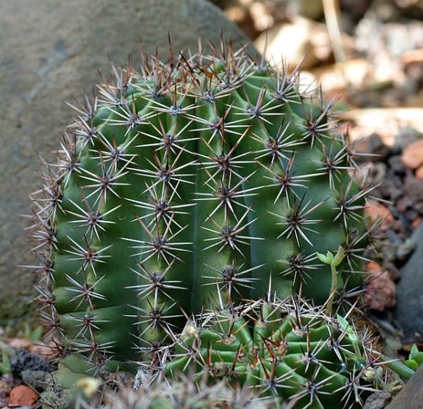 Echinopsis oxygona 2