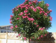 imagen La adelfa: un árbol cotidiano muy venenoso