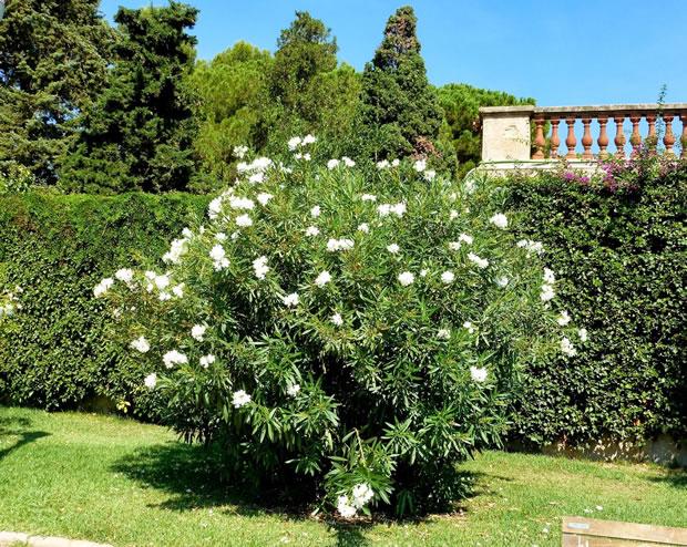 La adelfa un rbol cotidiano muy venenoso - Laurel de jardin ...
