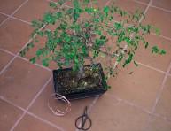 imagen Cómo hacer tu propio bonsái: primeros pasos