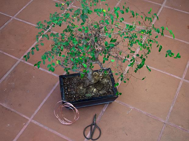 Cultivo de bonsái 1