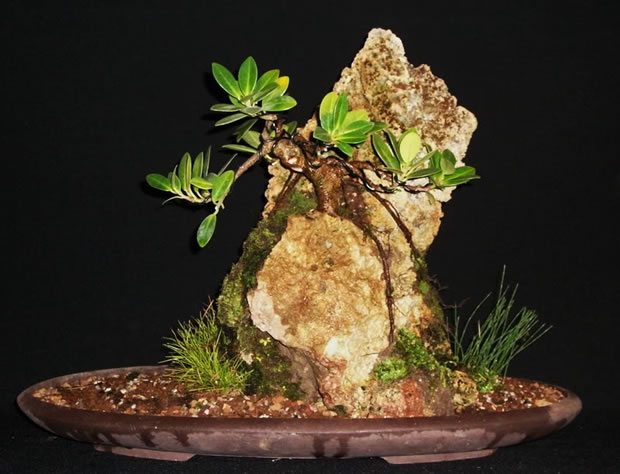 Bonsai en roca 2
