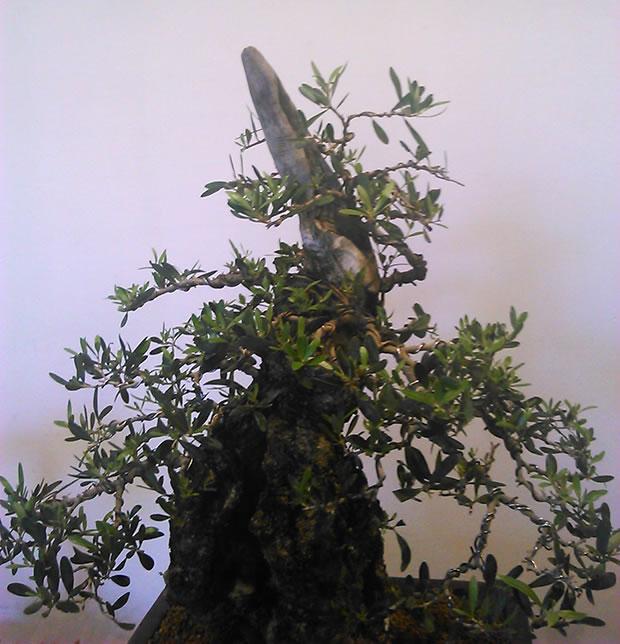 Cultivo de bonsái 3