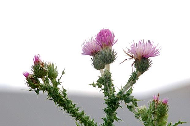 El cardo borriquero una planta silvestre con valor ornamental for Una planta ornamental