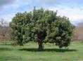 imagen Árboles: el algarrobo europeo