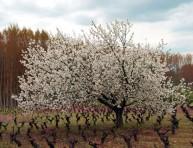 imagen Árboles frutales: el cerezo
