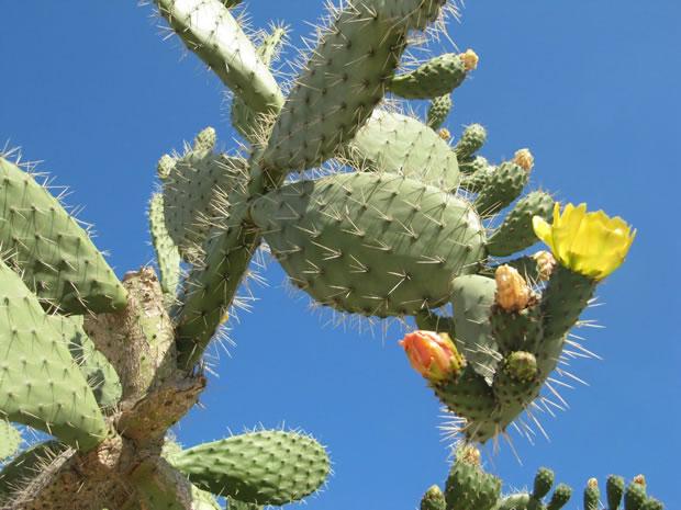 Cactus chumbera 1