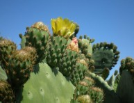 imagen El cactus mesoamericano Chumbera